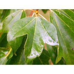 Acer buergerianum / Arce tridente - Sobre 10 semillas
