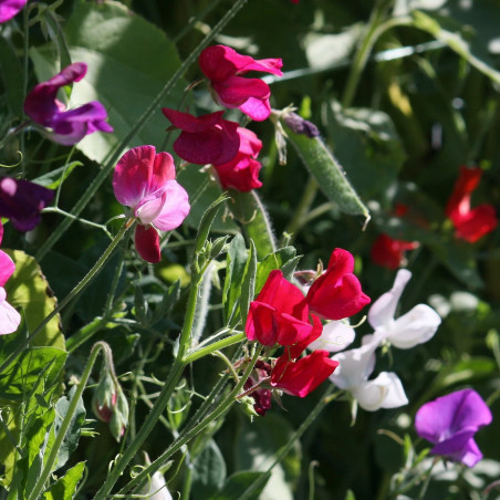 semillas de guisante de olor