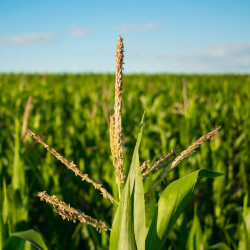 sembrar maiz