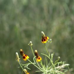 semillas de sombrero mejicano