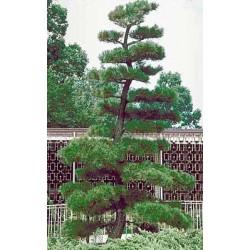 Pino negro Japonés / Pinus Thunbergii - Sobre 15 semillas