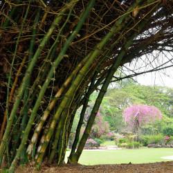bambú semillas de bambusa