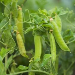 semillas de guisantes para sembrar pisum