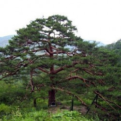 Pino rojo japonés / Pinus densiflora - Sobre 10 semillas
