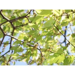 Zelkova serrata / Olmo chino - Sobre 10 semillas