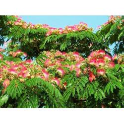 Acacia de Constantinopla / Acacia Persa - Sobre 25 semillas