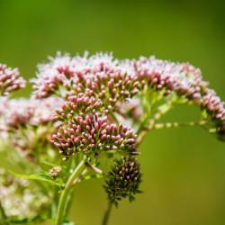 semillas de flores asclepias algodoncillo mejico