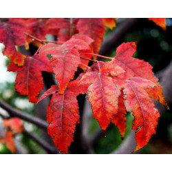 Acer ginnala 'Flame' - Sobre 10 semillas