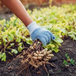 planta cacahuete semillas de arachis