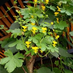 cacpuchina amarilla flor del canario flickr