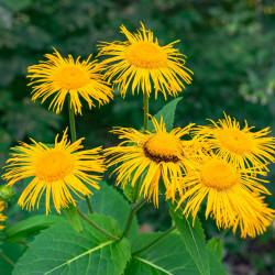 semillas de inula helenium helenio flor amarilla