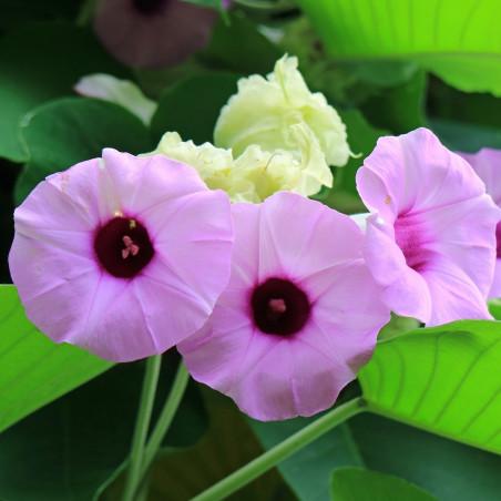 flor hawayana violeta