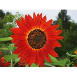 "Girasol ""Red Sun"" - Sobre 20 semillas"
