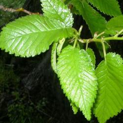 hojas de olmo
