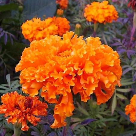 semillas de claveles naranjas