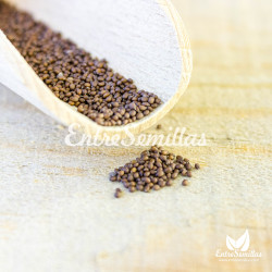 albahaca sagrada semillas sembrar