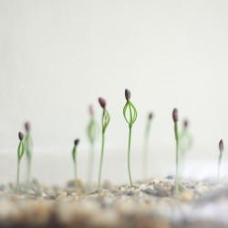 semillas de pinus brotes de pino negro japonés