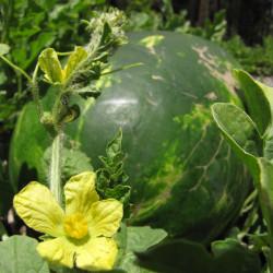 sandia watermelon semillas citrullus