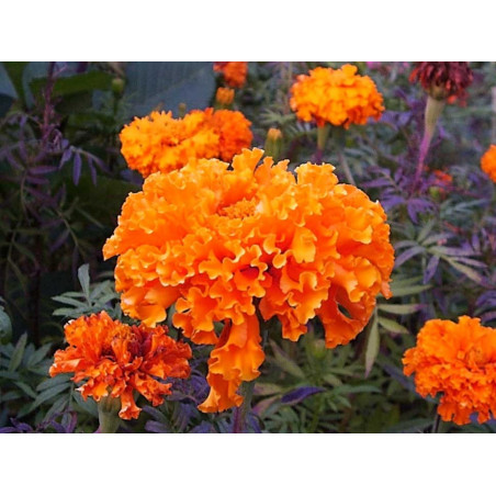Tagetes, Clavel de India - Sobre 30 semillas