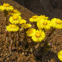 Coltsfoot semillas seeds Coltsfoot seed sow sembrar tusílago