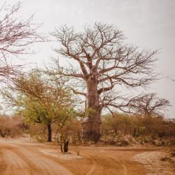 sembrar baobab desde semillas