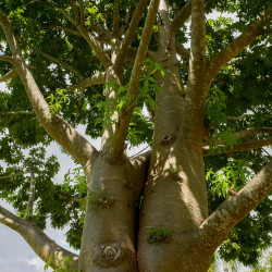 sembrar baobab semillas