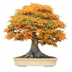 arce japonés árbol de bonsai semillas bonsai