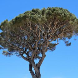 pino stone pine semillas de pinus