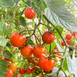 cherry red semillas