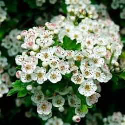 flores crataegus monogyna