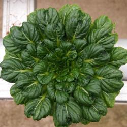 Tatsoi - Sobre 150 semillas