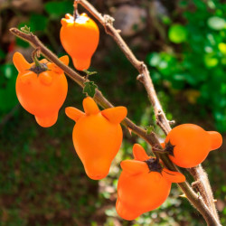 semillas de pichichio