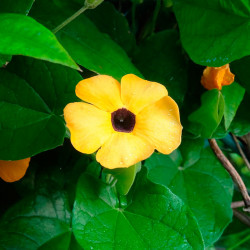 flor amarilla thunbergia alata semilla