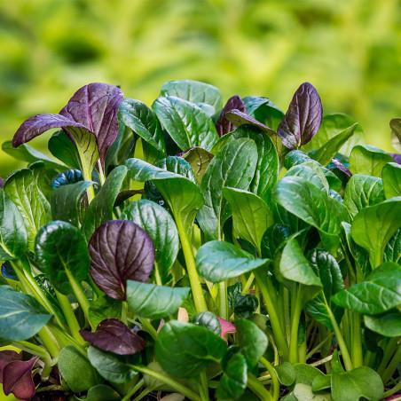 espinaca japonesa mostaza komatsuna verde semillas