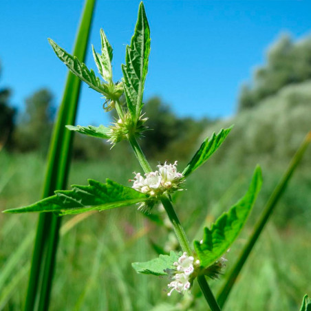 semillas de lycopus europaeus
