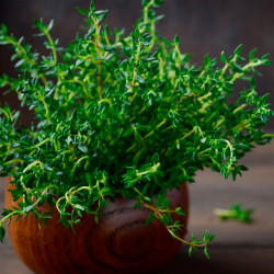 semillas de thymus fragrantissimus
