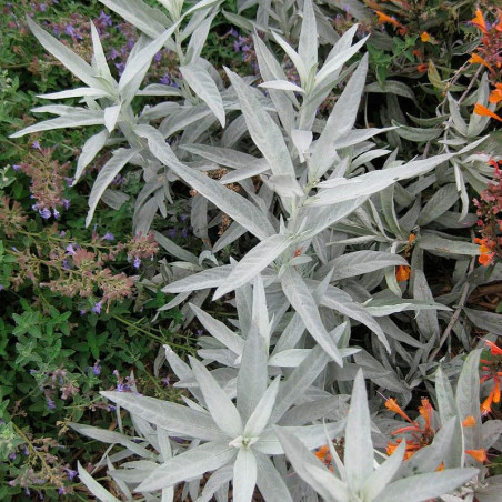 semillas de artemisia ludoviciana