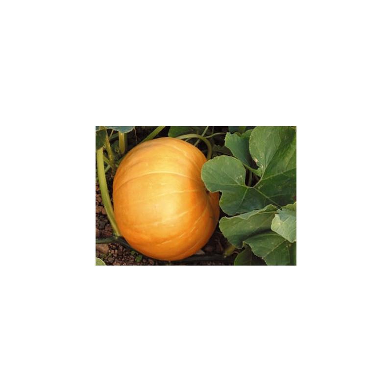Calabaza Quintal - Sobre 8 semillas