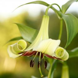 lilium nepalense semillas