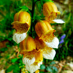 dedalera amarilla dorada semillas