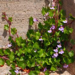 Cymbalaria muralis semillas