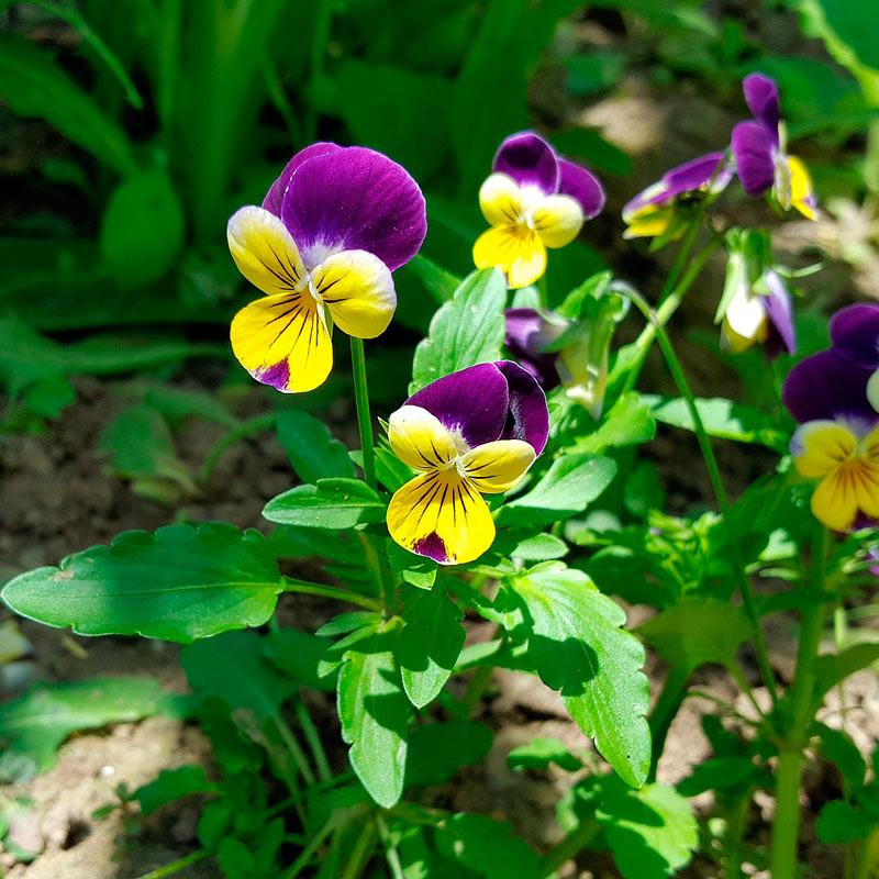 semillas de viola tricolor