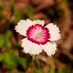 dianthus deltoides artic fire semillas