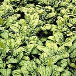 Espinaca Medania - Sobre 100 semillas