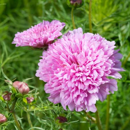 semillas de Cosmos bipinnatus doble rosa
