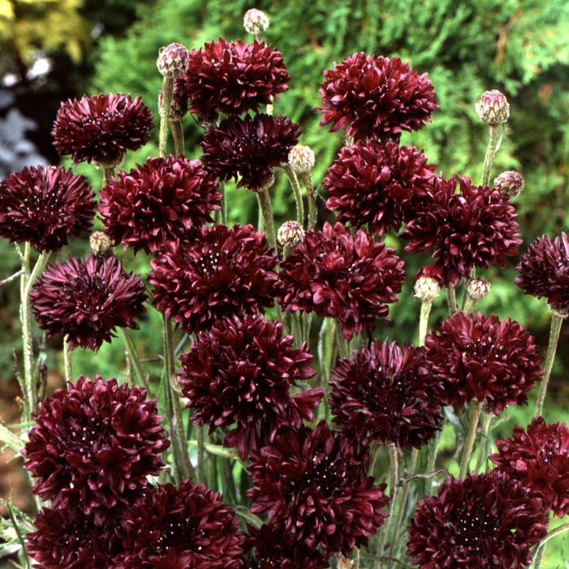 semillas de azulejo burdeos black boy centaurea cyanus