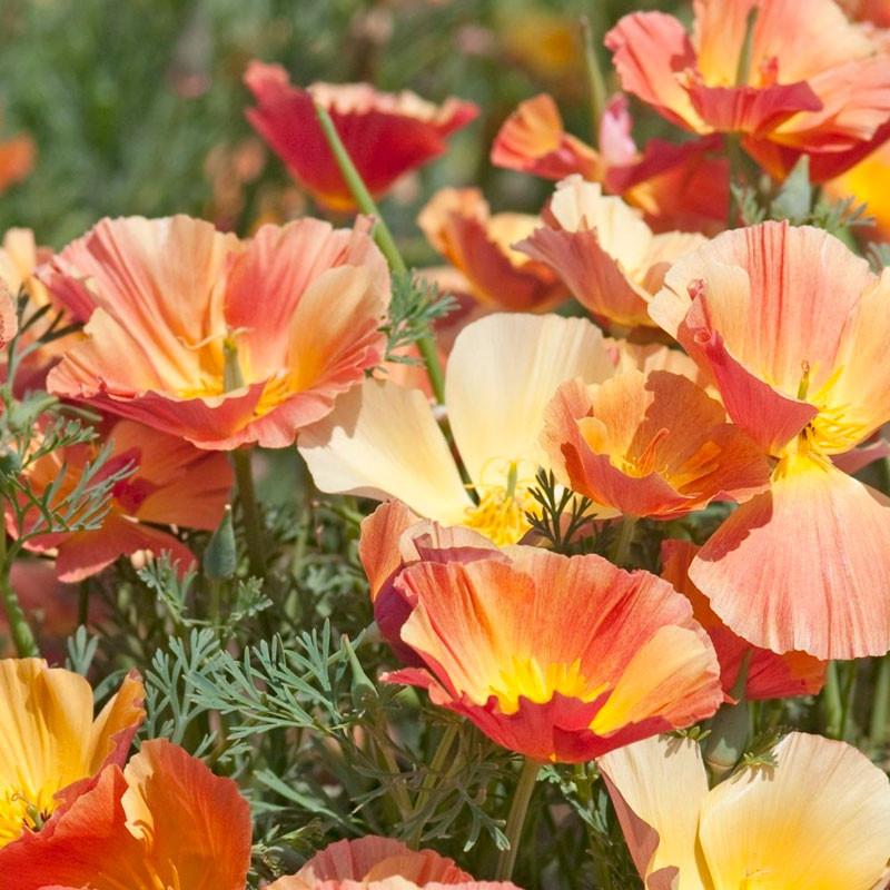 eschscholzia-californica-thai-silk-apricot-chiffon semillas