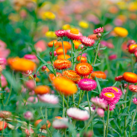 Helichrysum bracteatum semillas