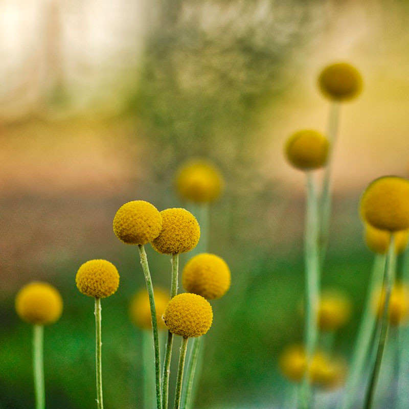craspedia globosa semillas