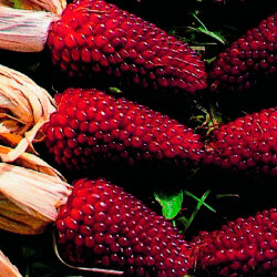 Maíz Rojo fresa - Sobre 10...